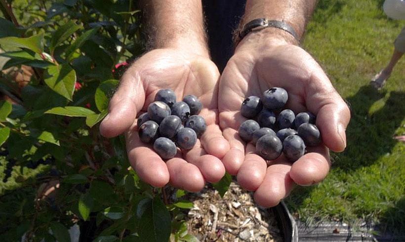 Fruit de la terre-bleuets biologiques
